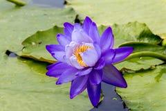 美丽的莲花是菩萨,泰国的标志 免版税图库摄影
