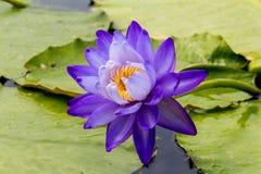 美丽的莲花是菩萨,泰国的标志 库存照片