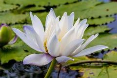 美丽的莲花是菩萨,泰国的标志 免版税库存照片