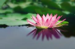 美丽的莲花由深刻的大海表面的深颜色恭维 免版税图库摄影