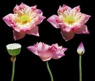 美丽的莲花 库存照片