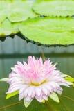 美丽的莲花 库存图片