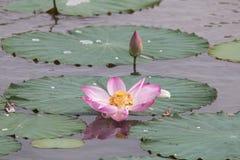 美丽的莲花 免版税库存照片