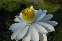美丽的莲花 图库摄影