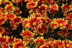 美丽的菊花在庭院里开花 库存图片