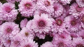美丽的菊花开花背景 免版税库存图片