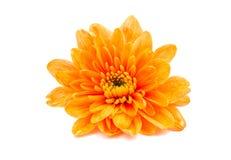 美丽的菊花桔子 库存图片