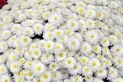 美丽的菊花花束开花户外 菊花在庭院里 五颜六色的花chrisanthemum 蝴蝶下落花卉花重点模式黄色 库存图片