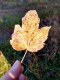 美丽的落叶在手中 免版税库存照片
