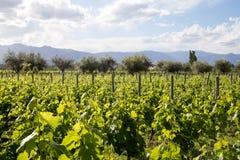 美丽的葡萄园在Mendoza,阿根廷 免版税图库摄影