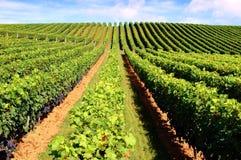 美丽的葡萄园 免版税库存照片