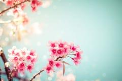 美丽的葡萄酒佐仓树花樱花在春天 免版税库存照片