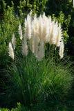美丽的蒲苇在庭院里 免版税库存照片