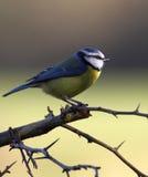 美丽的蓝冠山雀 库存图片