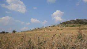 美丽的蓝天、松的云彩、树丛和草甸在晴天 股票视频