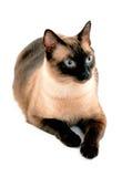 蓝眼睛猫 免版税库存照片