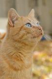 美丽的蓝眼睛的红色猫 免版税图库摄影