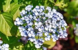 美丽的蓝色八仙花属在庭院里 免版税库存照片