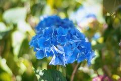 美丽的蓝色八仙花属在庭院里 库存照片