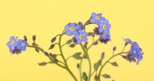 美丽的蓝色勿忘草花 图库摄影
