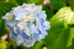 美丽的蓝色和白色八仙花属花 免版税库存照片