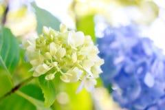 美丽的蓝色和白色八仙花属花 免版税图库摄影