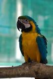 美丽的蓝色和金金刚鹦鹉在公园,鹦鹉 库存图片