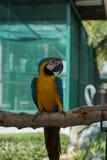 美丽的蓝色和金金刚鹦鹉在公园,鹦鹉 免版税库存照片