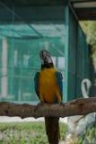 美丽的蓝色和金金刚鹦鹉在公园,鹦鹉 免版税图库摄影