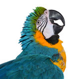 美丽的蓝色和金金刚鹦鹉 图库摄影