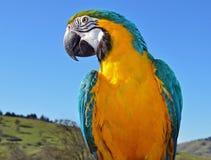 美丽的蓝色和金金刚鹦鹉 免版税库存照片