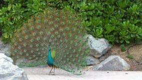 美丽的蓝色孔雀在城市涂绿色尾巴,显示羽毛,展开,展开后边,诱惑 股票录像