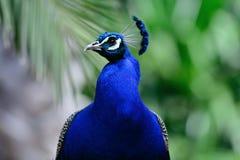 美丽的蓝色孔雀 库存照片