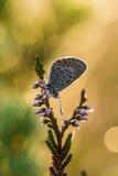 美丽的蓝色察觉了蝴蝶坐石南花分支在早晨露水的与在翼的水滴 库存图片