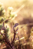 美丽的蓝色察觉了蝴蝶坐石南花分支在早晨露水的与在翼的水滴 库存照片