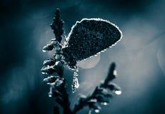 美丽的蓝色察觉了蝴蝶坐石南花分支在早晨露水的与在翼的水滴 免版税图库摄影