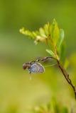 美丽的蓝色察觉了蝴蝶坐石南花分支在早晨露水的与在翼的水滴 免版税库存图片
