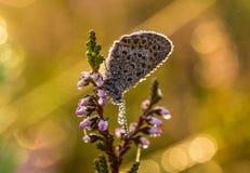 美丽的蓝色察觉了蝴蝶坐石南花分支在早晨露水的与在翼的水滴 免版税库存照片