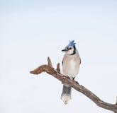 美丽的蓝色干燥杰伊肢体栖息结构树 库存图片