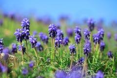 美丽的蓝色开花风信花 库存照片