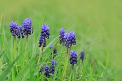 美丽的蓝色开花风信花 免版税库存照片