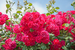 美丽的蓝色桃红色玫瑰天空 图库摄影