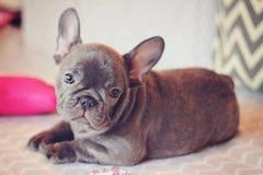 美丽的蓝色法国牛头犬小狗 库存图片