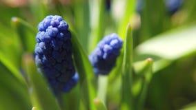 美丽的蓝色淀粉葡萄风信花英尺长度在春天庭院里开花绽放 股票录像