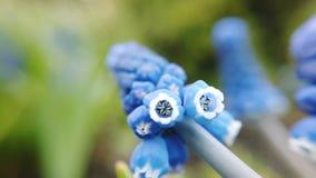 美丽的蓝色淀粉葡萄风信花英尺长度在春天庭院里开花绽放