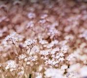 美丽的蓝色狂放的草甸开花勿忘草 夏令时行家定了调子季节背景 免版税图库摄影
