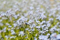 美丽的蓝色狂放的草甸开花勿忘草 夏令时行家定了调子季节背景 免版税库存图片