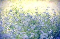 美丽的蓝色狂放的草甸开花勿忘草 夏令时行家定了调子季节背景 免版税库存照片