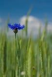 美丽的蓝色矢车菊 库存图片