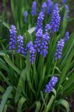 美丽的蓝色穆斯卡里花在一张花床上的早期的春天在庭院里 库存图片